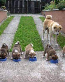 Cách nuôi chó nhanh lớn – Kinh nghiệm chăm sóc chó con khỏe mạnh