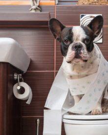 Dạy chó đi vệ sinh vào bồn cầu hiệu quả?