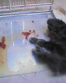 Phải làm gì khi chó bị đi ngoài ra máu?