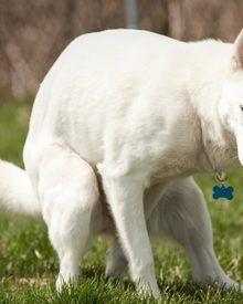 8 mẹo xử lý nhanh khi chó bị táo bón giúp chó hết đau, đi ngoài dễ