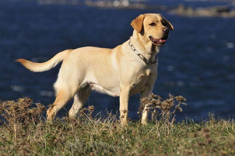 cho-Labrador