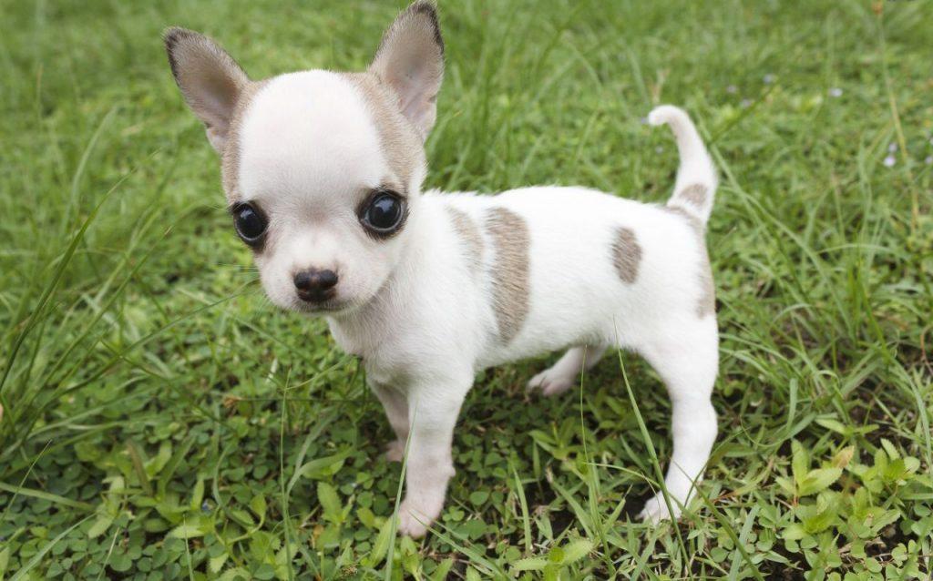 giong-cho-Chihuahua-mini