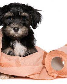 Hướng dẫn cách dạy chó đi vệ sinh đúng chỗ đơn giản hiệu quả 100%