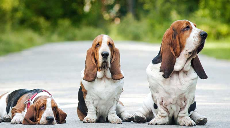 cho-basset-hound-it-rung-long
