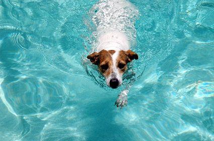 chó bơi dưới nước