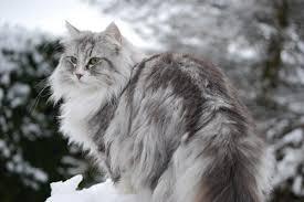 Mèo rừng Nauy rất được ưa chuộng hiện nay