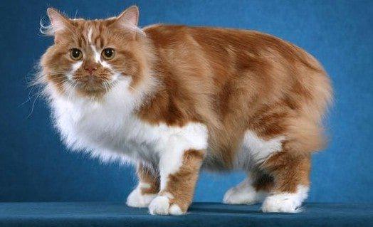 Mèo Cymric rất được ưa chuộng hiện nay